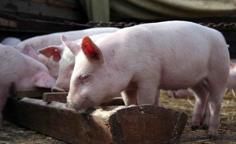 Свинка у деревянного корытца