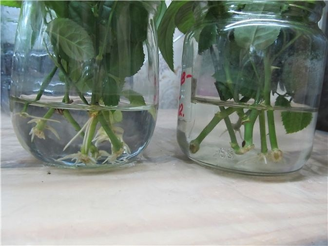 Розы черенками в домашних условиях посадка и уход
